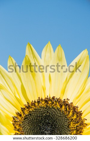 A sunflower isolated against a blue sky, UK - stock photo