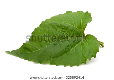 A sunflower leaf on white - stock photo