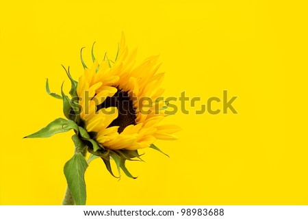 A sunflower on a yellow background - sunflowers are said to symolise adoration, loyalty, hope, power and warmth. - stock photo