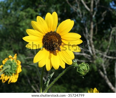 A sunflower with a bee in the middle - stock photo