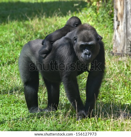 A sunlit gorilla female with her baby on her back. The biggest monkey mother on green grass. Little family of the great apes. Tenderness and beauty of the wildlife.