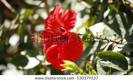 A sunny shot of a red hibiscus flower