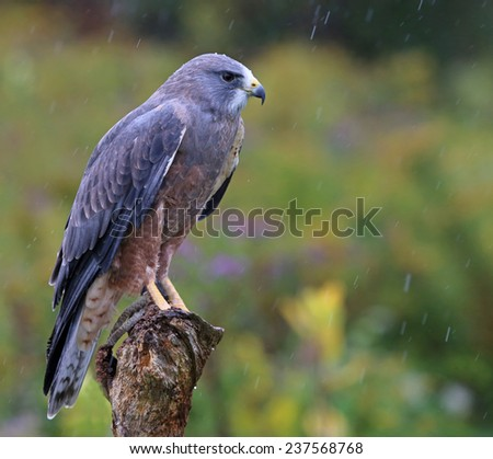 A Swainson's Hawk (Buteo swainsoni) sitting in the rain.  - stock photo