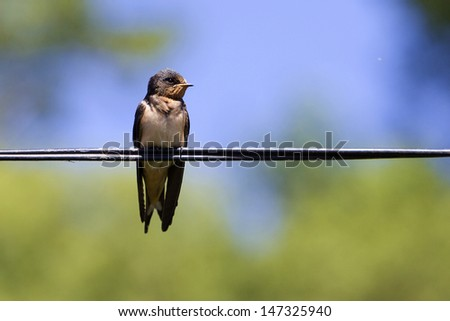 A swallow bird on wire in summer - stock photo