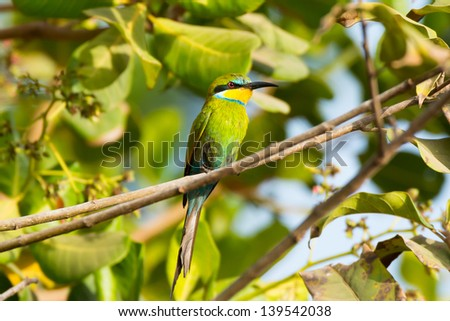 A Swallow-Tailed Bee-Eater perched in a Cashew Tree - stock photo