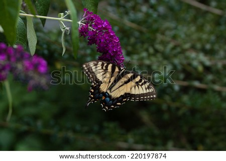 A Swallowtail Butterfly feeding from a purple cluster on a Butterfly Bush.