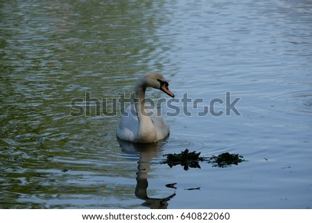 A swan is fishing - Tsaritsyno park - Moscow, Russia
