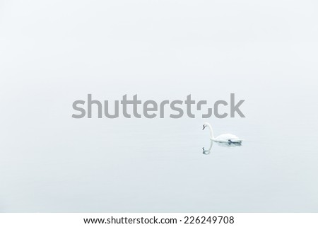 A swan on a water in very foggy weather, black and white photography - stock photo