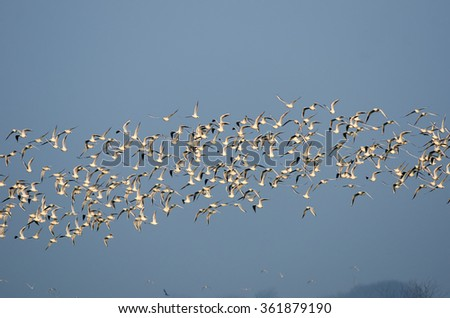 A swarm of seagulls flying in the sky. - stock photo