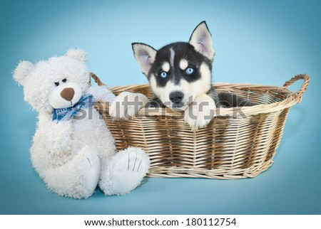 A sweet blue eyed Husky puppy sitting in a basket with a cute teddy bear on a blue background. - stock photo