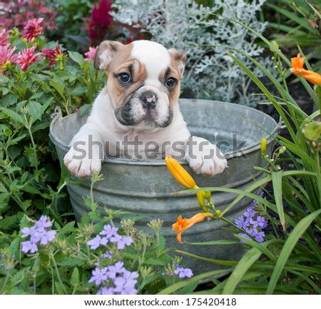A sweet Bulldog puppy sitting in a bath tub in a flower garden. - stock photo