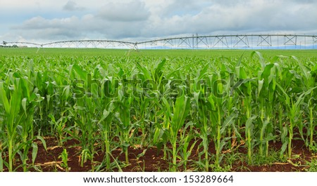 A sweet corn crop in Queensland, Australia, with irrigation systems in distance. - stock photo