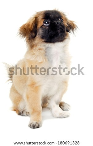 A sweet puppy dog is sitting on a white background looking up.