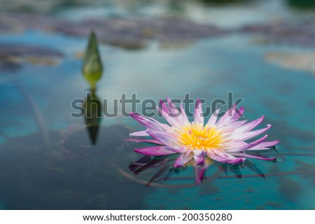 A sweet purple water lily over water surface in natural pool - stock photo