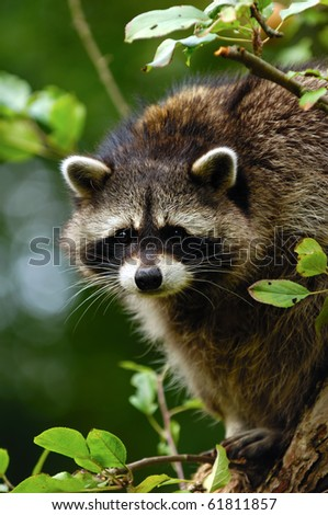 A sweet sad raccoon is sitting in a tree and looking.