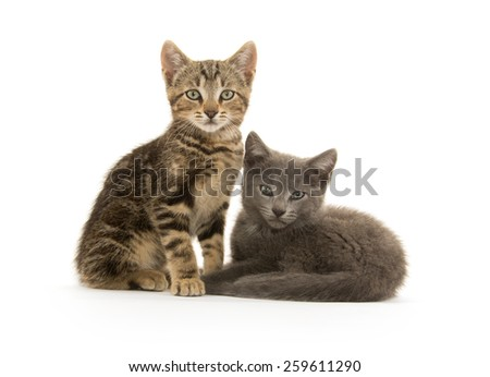 A tabby and gray kitten on white background