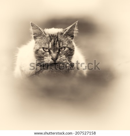 A tabby cat in the campaign with a young dead rabbit on its mouth. Black and white fine art outdoors portrait of domestic cat. - stock photo