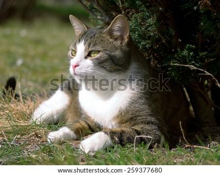 A tabby cat sitting under a shrub - stock photo