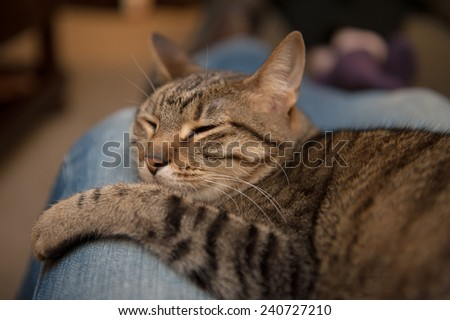 A tabby cat sleeps snuggled in the lap of an adult wearing blue jeans - stock photo