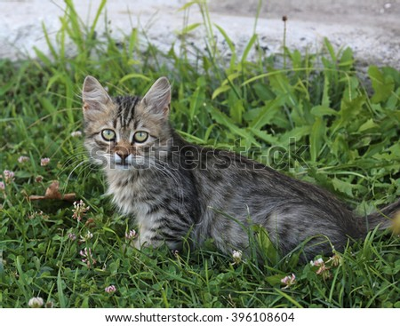 A tabby kitten posing on some grass.  - stock photo
