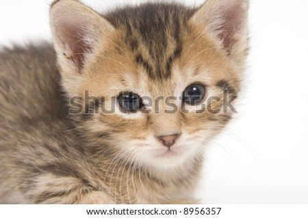 A tabby kitten resting on a white background