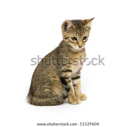 A tabby kitten sits and looks to the left on a white background