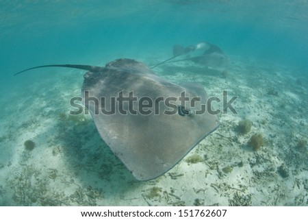 A Tahitian stingray (Himantura fai) cruises in shallow water over a sand flat near the French Polynesian island of Bora Bora.