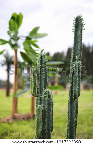 tall cactus stock images royalty free images vectors shutterstock. Black Bedroom Furniture Sets. Home Design Ideas