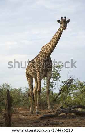 A tall giraffe towers above the photographer - stock photo