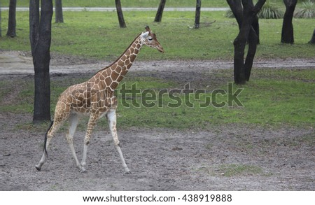 A tall Giraffe walking through the trees with classic pattern and long neck. - stock photo