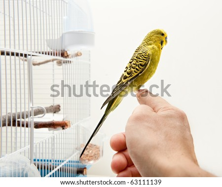 A tame domestic tropical bird sitting on a human finger outside cage - stock photo