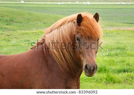 A tan Icelandic horse looking at camera - stock photo