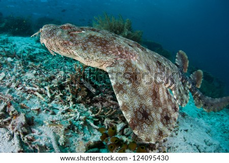 A Tasseled wobbegong (Eucrossorhinus dasypogon) uses its pattern, color, and body shape to camouflage itself on a coral reef floor.  This is an ambush predator. - stock photo