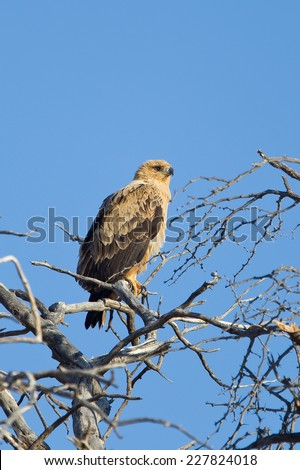 A Tawny Eagle (Aquila rapax) perched in a dead tree against a clear blue sky, Kalahari desert, South Africa - stock photo