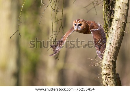 A tawny owl flying through the trees in a forest - stock photo
