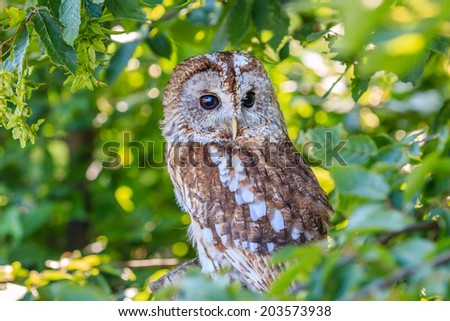 A Tawny Owl hides in a tree and foliage - stock photo