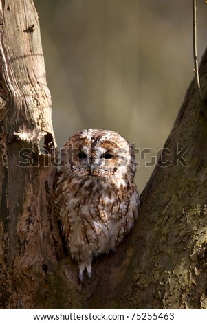A tawny owl in an old tree - stock photo