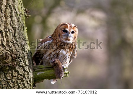 A tawny owl up an old tree - stock photo