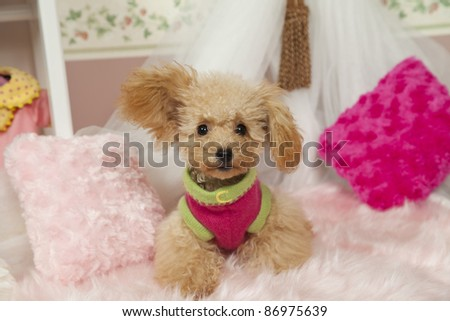 a tea cup poodle in a miniature room pink setting - stock photo