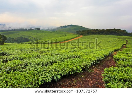 A Tea Plantation in Uganda, Africa. Tea is an important export in this country; locals spend all day in the hot sun working for less than a few dollars a week.
