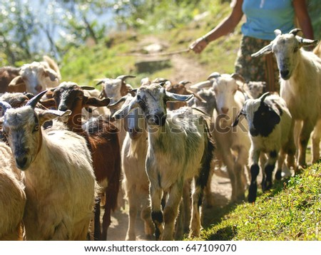 A telephoto image of a herd of goats being walked along a mountain trail by a herder, Annapurna Region, Himalaya, Nepal
