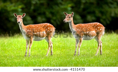 A telephoto of two white tailed deers