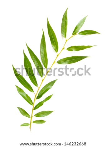 A tender green Weeping Willow leaf isolated on white background - stock photo