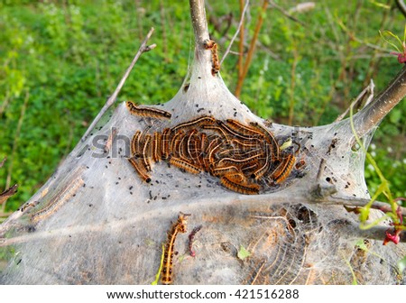 A tent nest full of Eastern Tent Caterpillars nestled in the crook of a tree in the woods. - stock photo