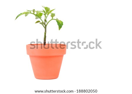 A terracotta planter with a medium sized tomato seedling. - stock photo