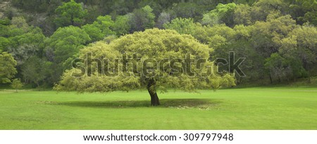 A Texas Live Oak tree in front of  a ridge in the Texas Hill Country during springtime - stock photo