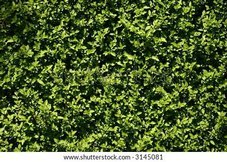 A texture, background image of small green leaves in spring
