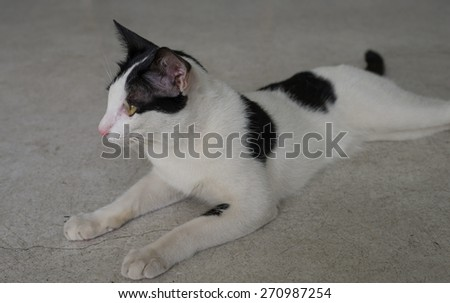 a thai cat - stock photo