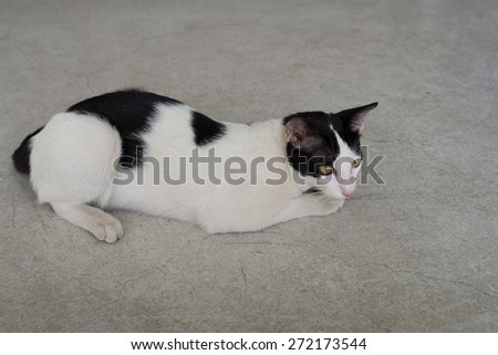a thai cat back white color - stock photo