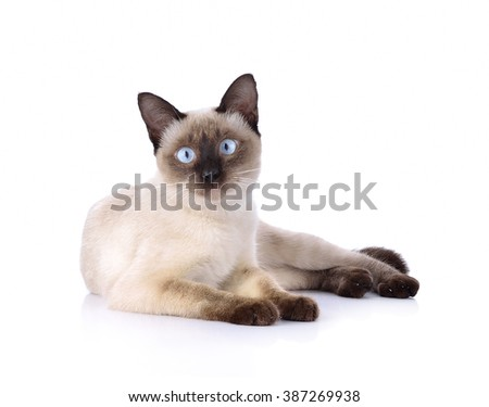 a thai cat is a traditional or old-style siamese cat - stock photo